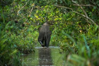 An African elephant wades through a waterway and is framed by the tunnel made of tall grasses and leafy trees. Photo by wildlife photographer and conservation photographer Pete Oxford.