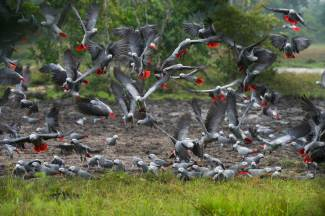 Congo African parrots are shown taking flight together. Photo by wildlife photographer and conservation photographer Pete Oxford.
