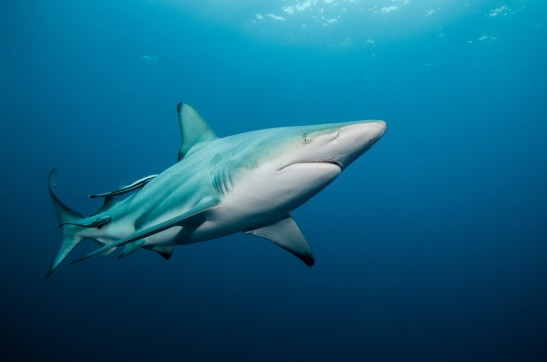An oceanic black tip shark swims through the open ocean. Photography by conservation and underwater photographer Pete Oxford.