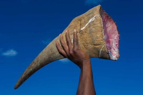 The severed horn of a poached white rhinoceros is held in the air. Photo by conservation photographer Pete Oxford.