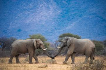 Two African elephants join trunks.Photo by conservation and wildlife photographer Pete Oxford.