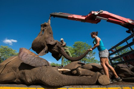Tranquilized elephants are loaded on to a truck by a crane. Photo by conservation photographer Pete Oxford.