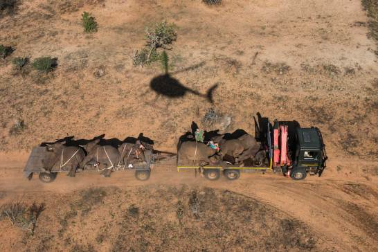Tranquilized elephants are shown on a transport truck for relocation. Photo by aerial photographer and conservation photographer Pete Oxford.