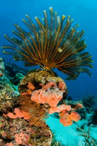 Bennett's feather star is seen growing on a reef. Photography by conservation and underwater photographer Pete Oxford.