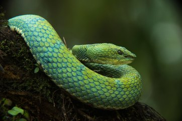 An Ecuadorian pitviper is shown resting on a branch. Photo by wildlife photographer and conservation photographer Pete Oxford.
