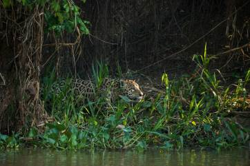 A male jaguar moves into the sunlight on the riverbank from its spot in the shade. Photo by conservation and wildlife photographer Pete Oxford.