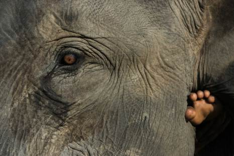 The foot of a rider is visible behind the ear of a domesticated Asian elephant. Photograph by conservation and travel photographer Pete Oxford.