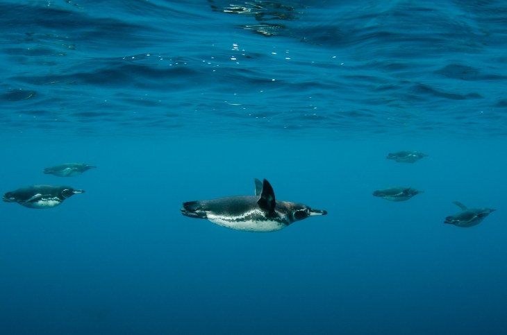 Six endemic Galapagos penguins swim together just below the surface of the water. Photography by conservation and underwater photographer Pete Oxford.
