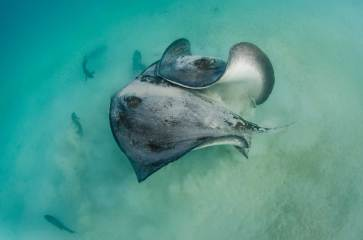 Two diamond stingrays fight underwater. Photography by conservation and underwater photographer Pete Oxford.