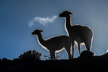 The breath of a silhouetted llama guanaco is evident in the cool mountain air. Photo by conservation and wildlife photographer Pete Oxford.