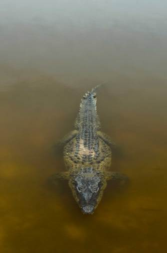 An American crocodile waits patiently just below the surface of calm water. Photo by conservation and wildlife photographer Pete Oxford.
