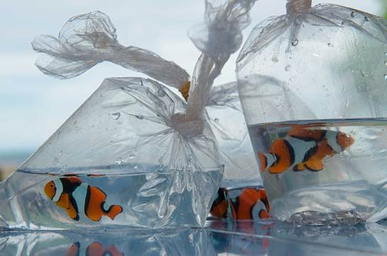 Clownfish are shown in plastic bags as part of the pet trade. Photo by conservation photographer Pete Oxford.