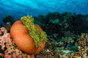 A ritteri anemone displays its beautiful colours. Photography by conservation and underwater photographer Pete Oxford.