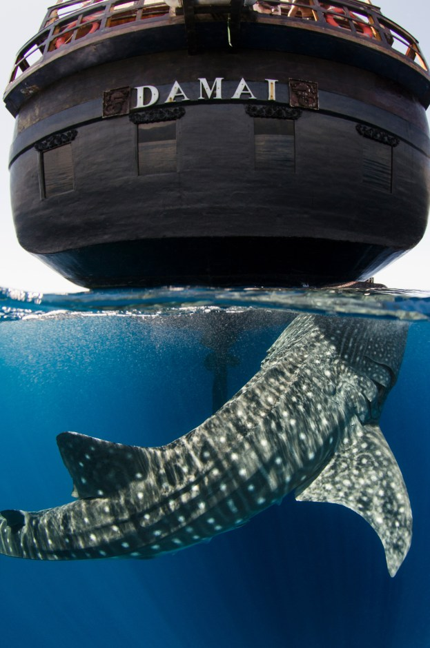 A whale shark breaks the surface of the water behind a large ship. Photography by conservation and underwater photographer Pete Oxford.
