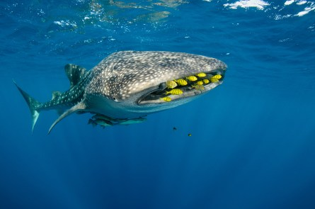 Golden trevally swim just in front of a whale sharks mouth. Photography by conservation and underwater photographer Pete Oxford.