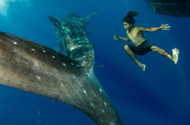 A person floats underwater beside a whale shark. Photography by conservation and underwater photographer Pete Oxford.