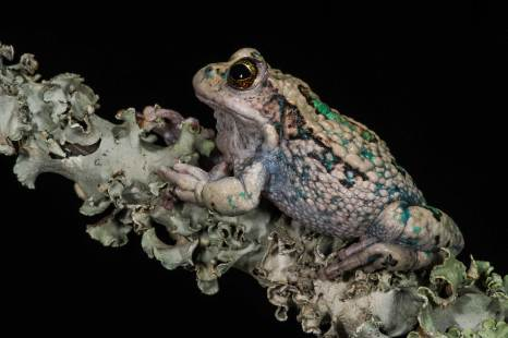 A San Lucas marsupial frog perches on a branch. Photo by conservation and wildlife photographer Pete Oxford.