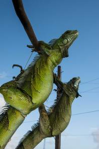 Live iguanas meant to be eaten are tied up to a post. Photo by conservation photographer Pete Oxford.