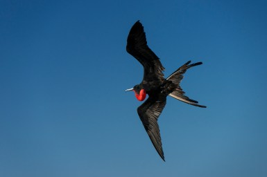 A great frigate bird soars above as its red neck pouch hangs below. Photograph by conservation and wildlife photographer Pete Oxford.