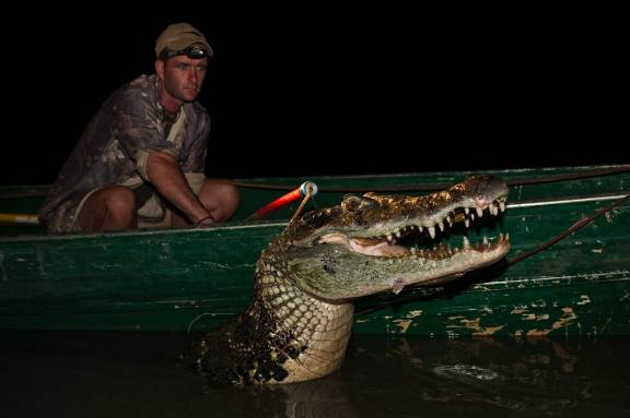A black caiman is shown as part of a mark and recapture study in Guyana. Photograph by conservation photographer Pete Oxford.