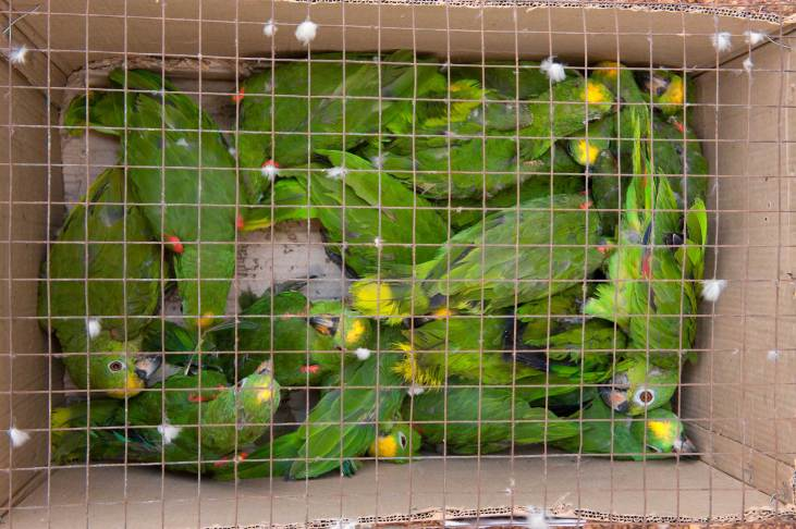 Yellow-crowned parrots are shown in a cardboard box with a metal cage on top. Photo by conservation photographer Pete Oxford.