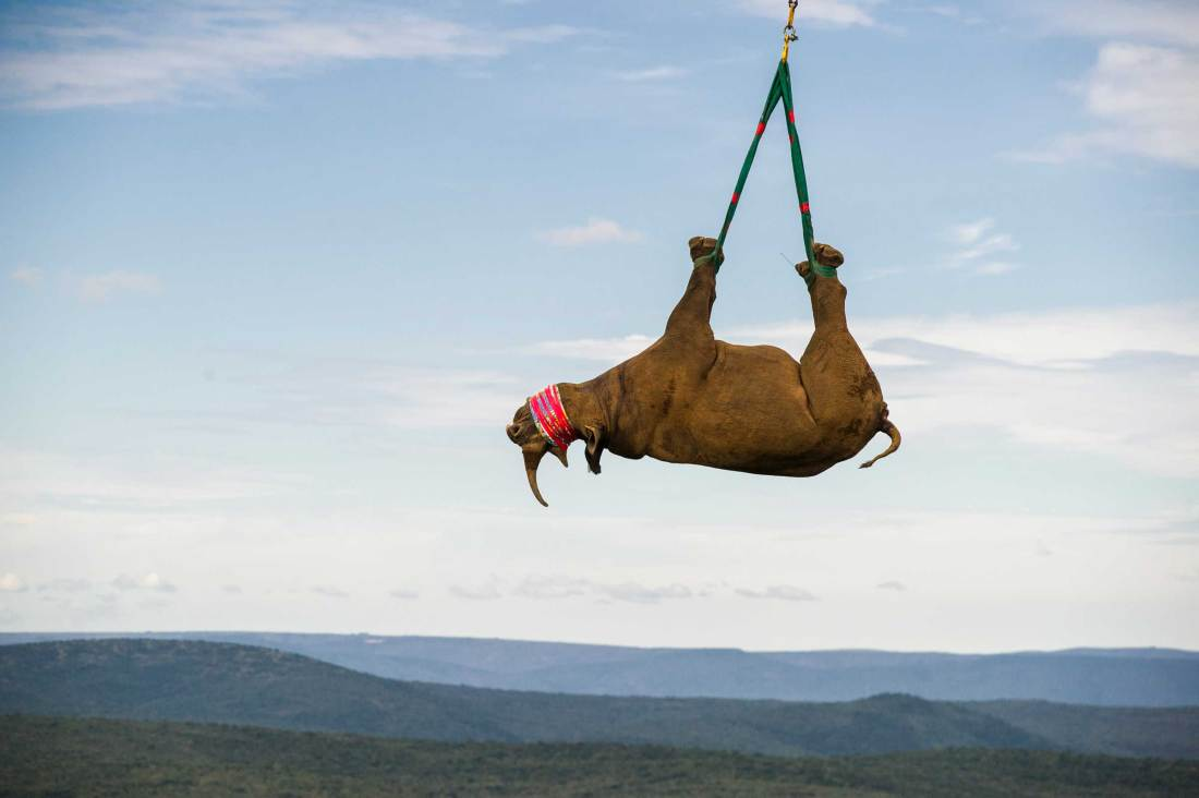 A black rhinoceros is slung from a helicopter during a conservation transportation effort.