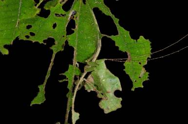 A Bolivar's Katydid clings to a leaf and demonstrates its amazing ability to camouflage. Photo by conservation and wildlife photographer Pete Oxford.