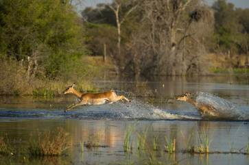 Impala rush to get out of the water as it splashes everywhere. Photograph by conservation and wildlife photographer Pete Oxford.