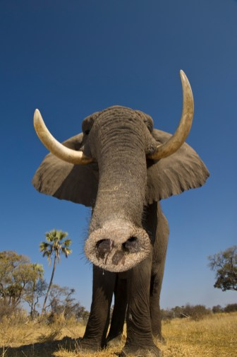 An African elephant gets up close to the camera as it reaches out with its trunk. Photograph by conservation and wildlife photographer Pete Oxford.