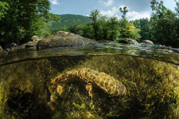 A hellbender salamander is shown underwater in a river. Photo by underwater photographer and conservation photographer Pete Oxford.