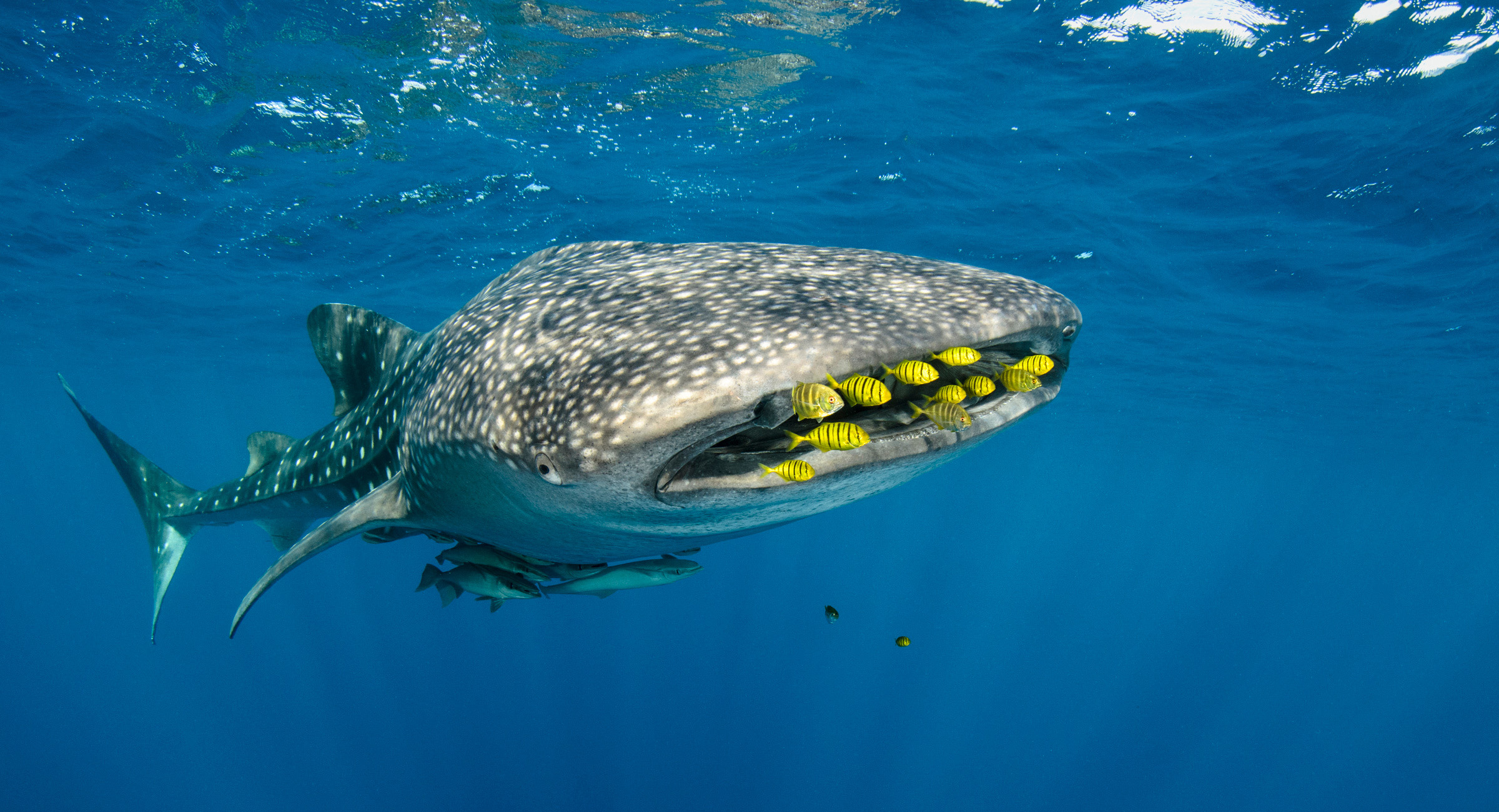 Golden trevally swim just in front of the mouth of a whale shark. Photo by conservation photographer Pete Oxford.