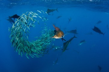 Several Atlantic sailfish work to try and feed on a school of fish. Photography by conservation and underwater photographer Pete Oxford.