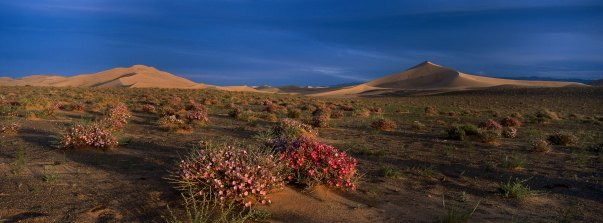 Morning glory flowers are shown in bloom in the Gobi desert. Photograph by landscape photographer Pete Oxford.