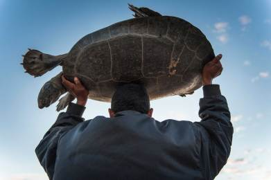 A giant river turtle is carried back to the river after having its biometric data taken. Photograph by conservation photographer Pete Oxford.