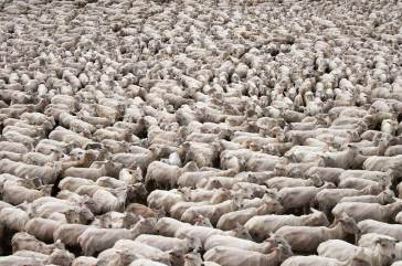 A flock of sheep after shearing stand together. Photo by travel photographer and conservation photographer Pete Oxford.