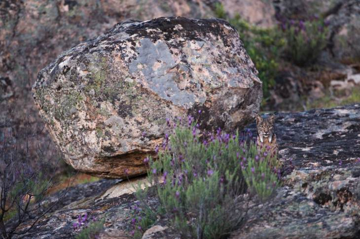 An endangered Iberian lynx demonstrates its ability to camouflage and hide as it looks out from behind some tall flowers. Photograph by conservation and wildlife photographer Pete Oxford.