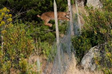 An endangered Iberian lynx uses its powerful legs to leap over a fence meant to keep other predators out. Photograph by conservation and wildlife photographer Pete Oxford.