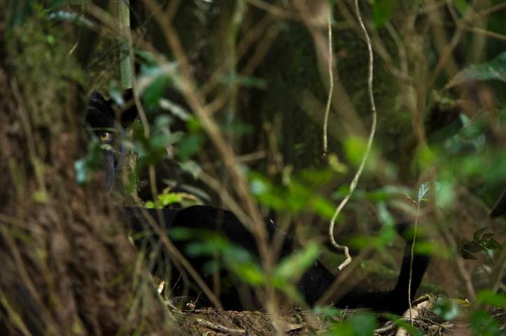 A wild black panther makes eye contact from its hiding spot behind a tree. Photograph by conservation and wildlife photographer Pete Oxford.