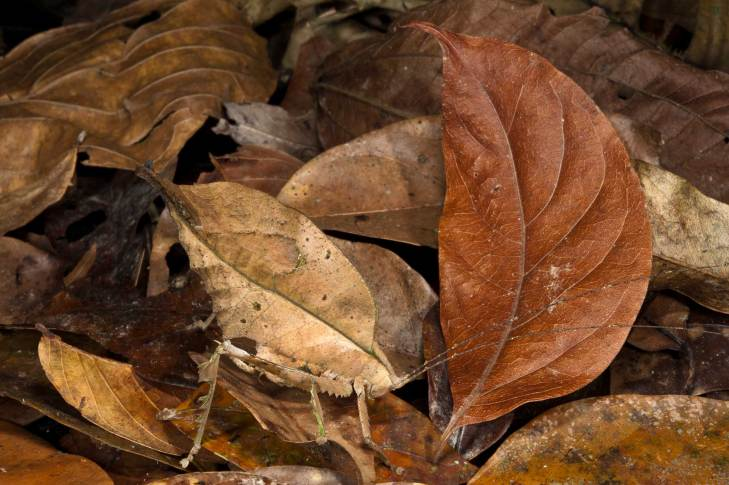 A dead-leaf katydid uses its camouflage to blend in with a collection of dead leaves. Photograph by conservation and wildlife photographer Pete Oxford.