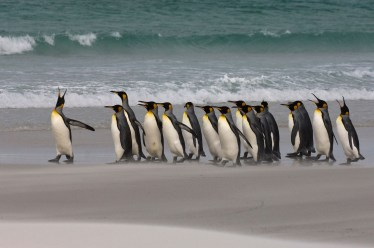 A group of king penguins walk together on the beach. Photo by wildlife photographer Pete Oxford.