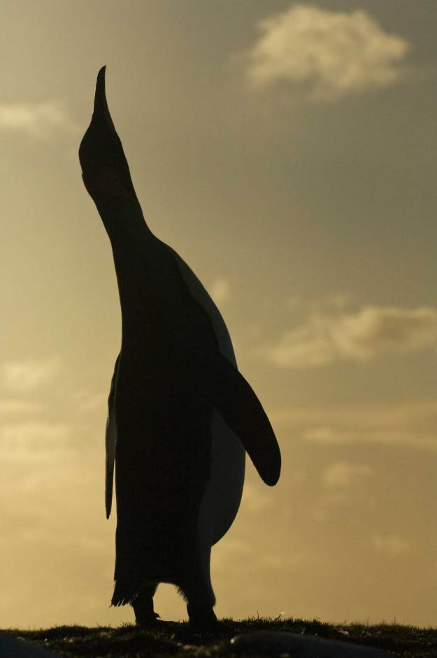 A king penguin extends its neck into the air while being silhouetted by the setting sun behind it. Photograph by conservation and wildlife photographer Pete Oxford.