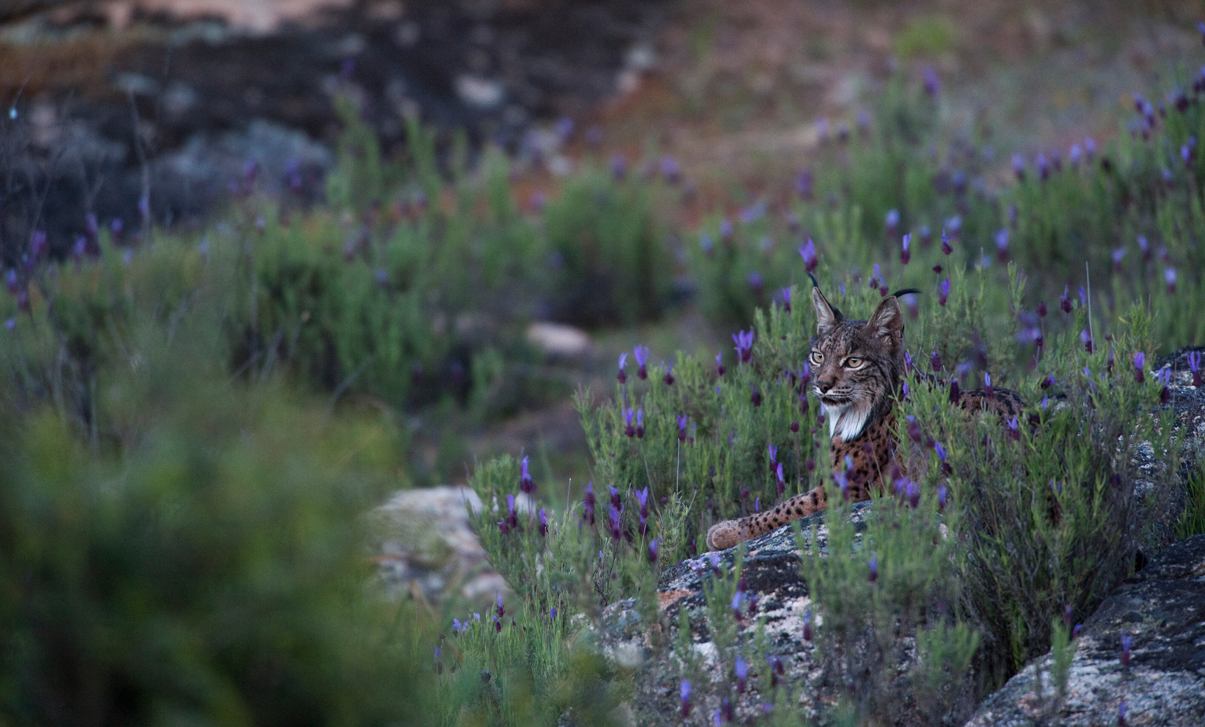 A critically endangered female Iberian lynx rests amongst purple flowers. Photo by conservation photographer Pete Oxford.