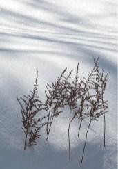 Astilbe In Snow