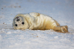baby seal photo