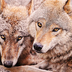 two wolves photo