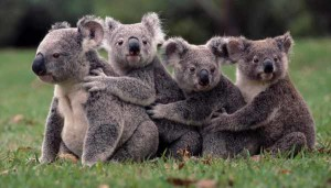 It's all about the Koalas (sorry) people.