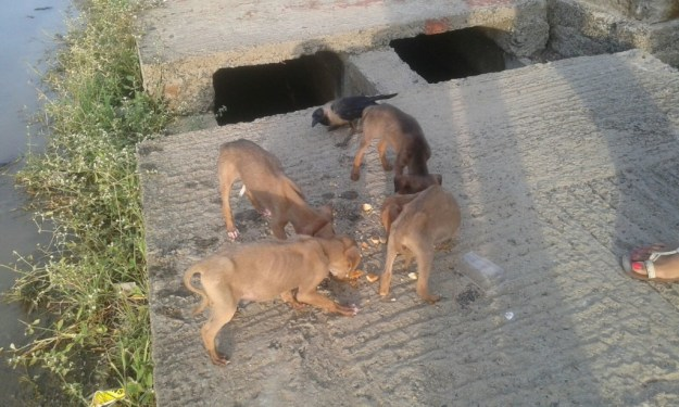 emaciated puppies at taramani station