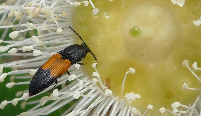 A click beetle