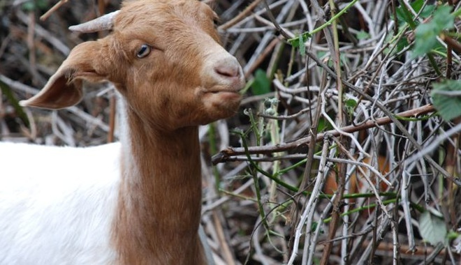 Goat eating bush
