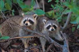 Rhyme and Reason the Raccoons